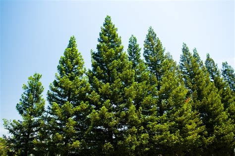 The Pine Tree amazing pine tree facts that are worth a read