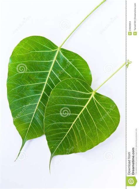 Bodhi Leaf the bodhi leaf stock images image 24929954