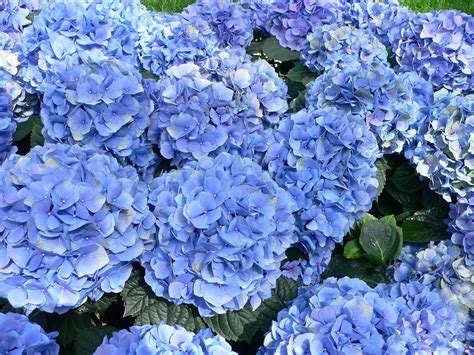 blue garden flower how do i change the color of my hydrangea flowers