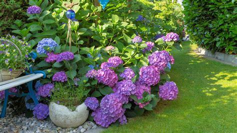 pflege hortensien im garten pflege hortensien hortensien pflegen gie en d ngen