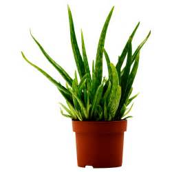 potted plants aloe vera potted plant aloe 12 cm ikea