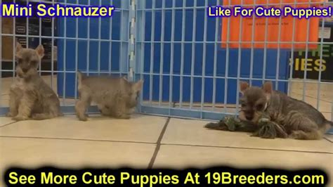 puppies for sale in lafayette la miniature schnauzer puppies for sale in baton louisiana la minden west