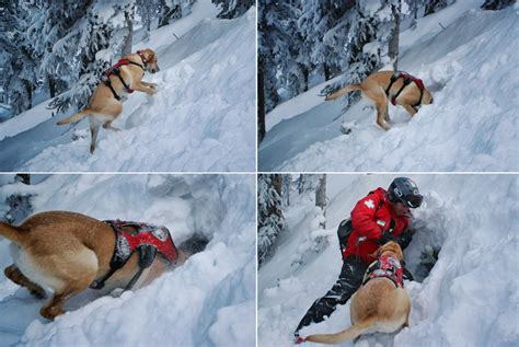 puppies rescued from avalanche avalanche rescue saves of austrian skier snowbrains