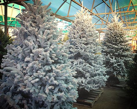 christmas trees with farms for sale live trees for sale fossil creek tree farm nursery landscaping fort worth