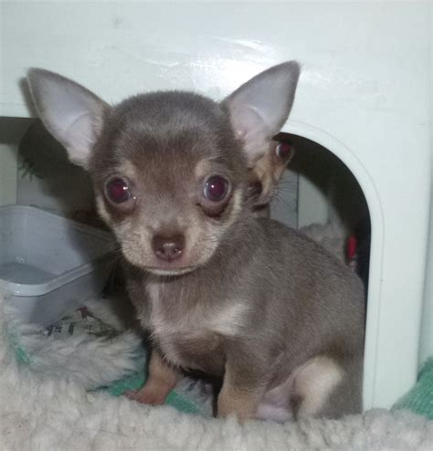 blue chihuahua puppies blue chihuahua boy puppy available kc reg ipswich suffolk pets4homes