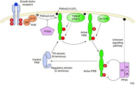 protein kinase b ten years of protein kinase b signalling a akt to