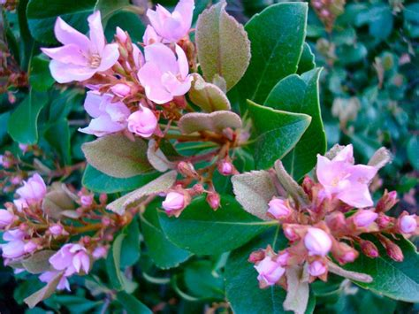 indian hawthorn care how to grow indian hawthorn plant