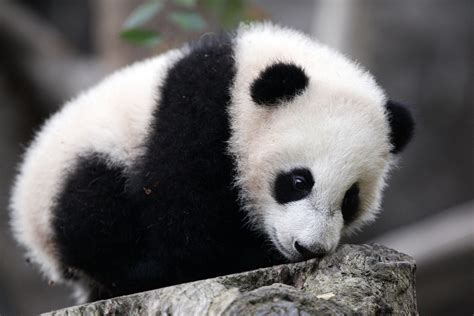 wallpaper panda panda wallpapers images photos pictures backgrounds