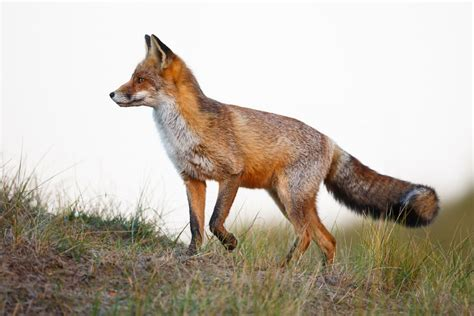 spirit animal fox symbolism fox spirit animal gratitude