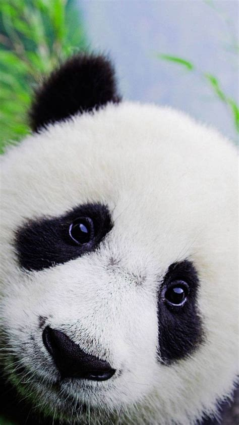wallpaper iphone panda cute baby panda wallpaper for iphone hd animal wallpaper