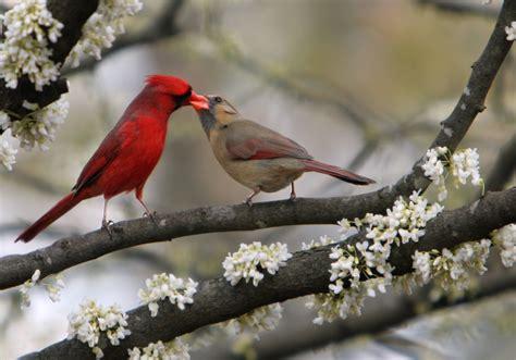 file cardinalis cardinalis in cercis canadensis jpg