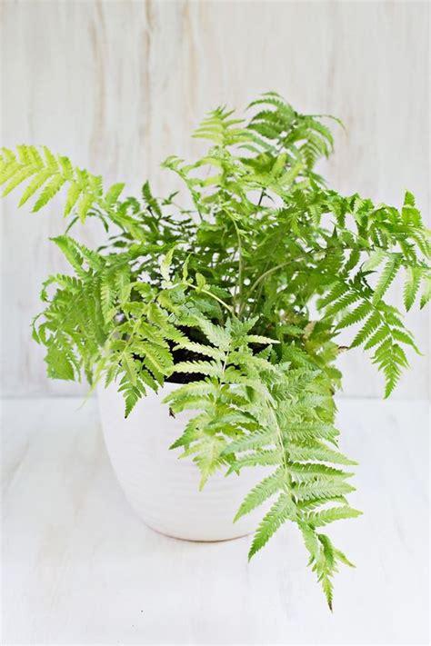 boston fern low light non toxic houseplants boston fern houseplants