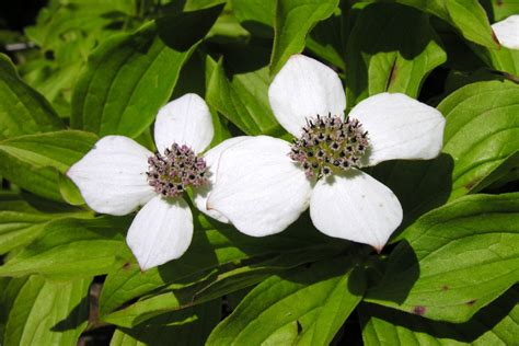 Search For Canada Bunchberry Tops List In Search For Canada S National Flower Toronto