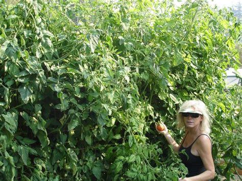 love apple farms woman engulfed   foot tall tomato