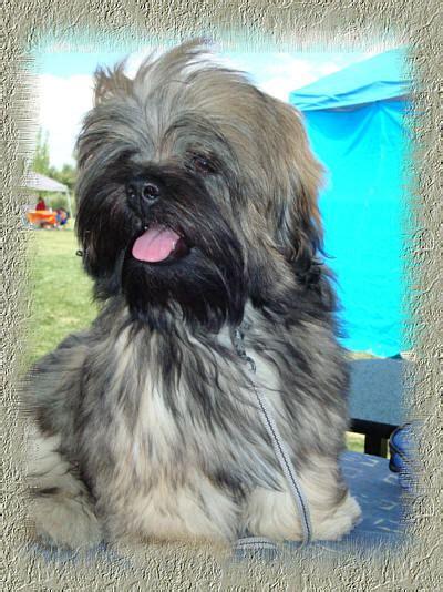 pups schemel lhasa apso news 2007 archives