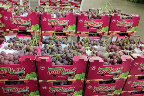 globe uva da tavola le nuove tecnologie segnano la strada dell uva da tavola