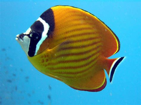 Google Images Fish | butterfly fish images google search marine animules