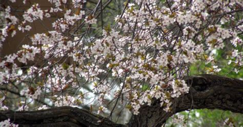 when to prune flowering cherry trees ehow uk