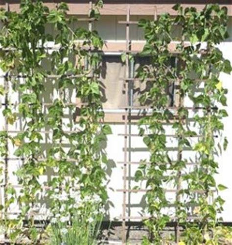Growing Pole Beans Trellis pole beans growing on trellis