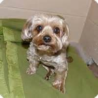 yorkie rescue wi wi yorkie terrier meet king louie a for adoption