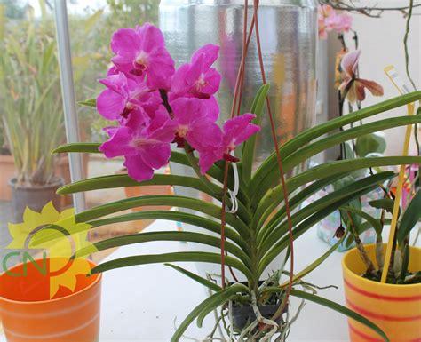 orchidea in vaso cura orchidea cura in casa best orchidea rami in vaso di vetro