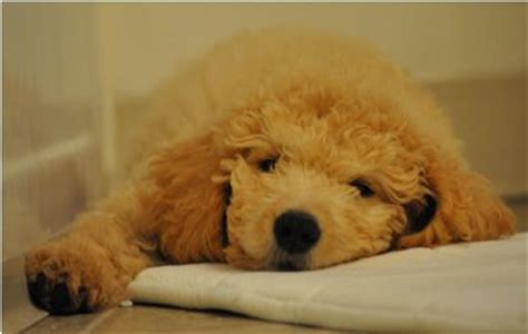 goldendoodle puppy tips 17 best images about goldendoodle grooming on