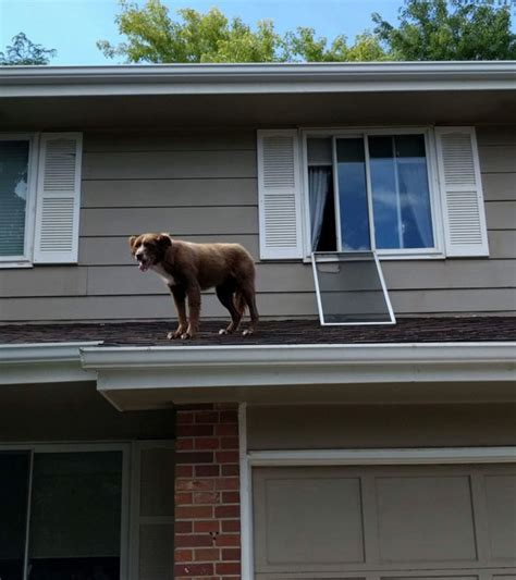 dog on roof funny pictures august 19 2017 odd stuff magazine