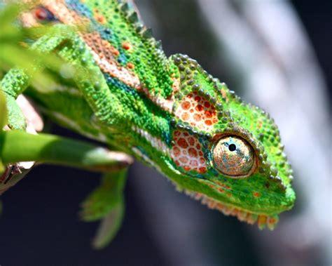 Chameleon Headl wildlife den south wildlife photography 187 cape chameleon