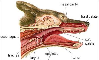 collapsing trachea expectancy collapsed trachea in dogs related keywords collapsed trachea in dogs