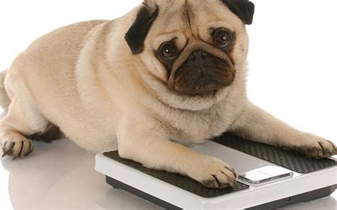 how to help your lose weight how to help your pet lose winter weight pets