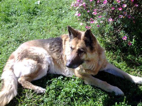 lade le berger photo berger allemand femelle 16 ans