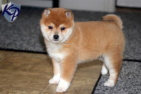 husky inu puppies for sale the gallery for gt shiba inu pomeranian mix puppies