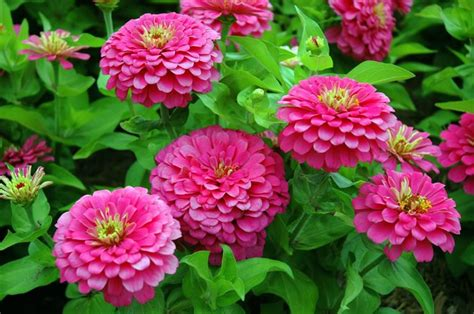 fiori annuali zinnia zinnia piante annuali zinnia annuali