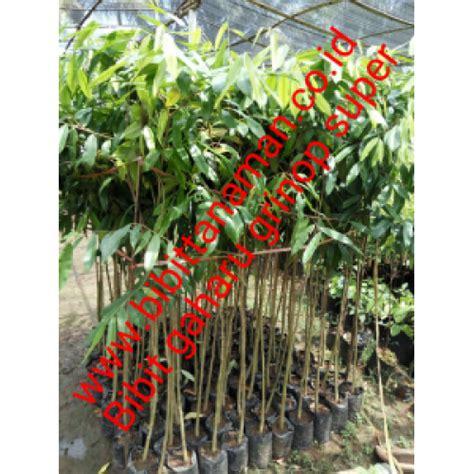 Jual Bibit Aneka Cabe jual bibit tanaman unggul murah di purworejo