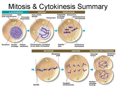 mitosis phases diagrams related keywords suggestions for mitosis diagram