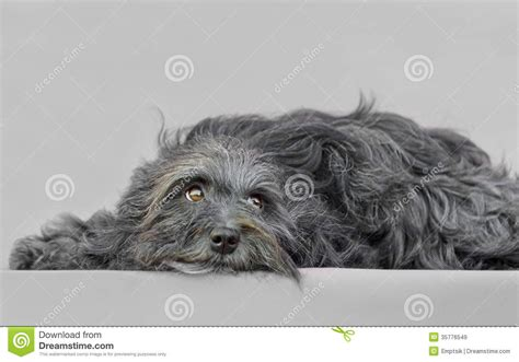 gray havanese bichon havanese royalty free stock images image 35776549