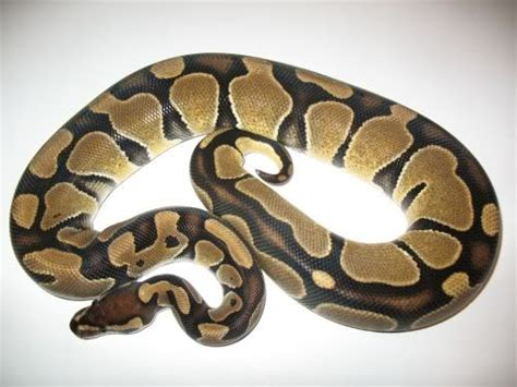 reduced pattern pastel ball python what does reduced pattern mean in bps