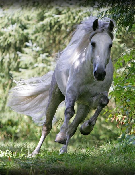an andalusian andalusian horses