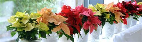 imagenes flores de navidad flores para navidad