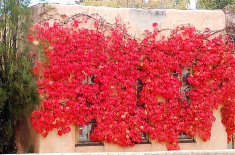 Best Climbing Plants For Shade - try these perennial vines for shade