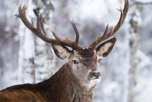 17 most amazing reindeer facts to quench your curiosity
