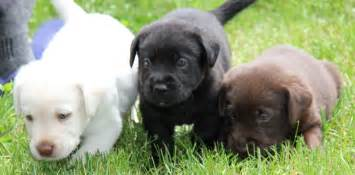 lab colors labrador retrievers from and field trial lines