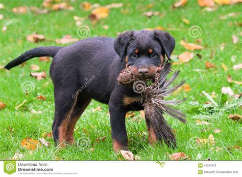 dead rottweiler rottweiler pup with dead bird stock photo image 46024912
