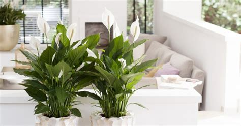 Bathroom Plants Smell This Is Why Peace Is Best House Plant Plant Talk