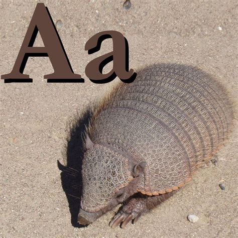 A For file a is for armadillo jpg wikimedia commons