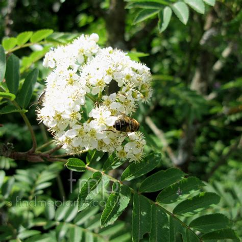 Net Name Search Florida A Large Image Of Sorbus Fl From Plant Encyclopedia