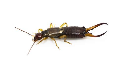 Earwig - Pest Control, Facts & Information | pest-control.com