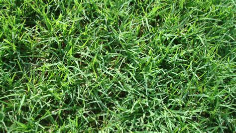 Grass Varieties by How To Choose The Right Lawn Grasses 1001 Gardens