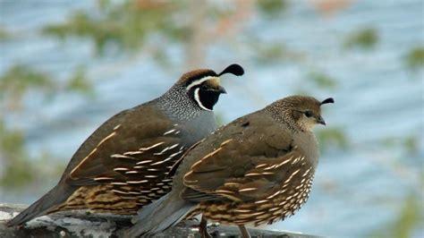 where do quail live reference com