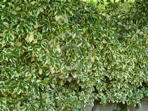 foliage plants names duranta erecta variegata variegated pigeon berry golden